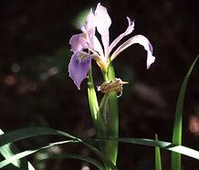 Iris_douglasiana_flower.jpg