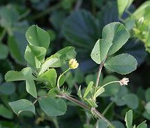 Trifolium_dubium_flower.JPG