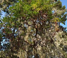 Arbutus_menziesii_tree.jpg