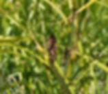 Carex_lyngbyei_plant.jpg