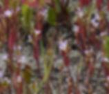 Lythrum_hyssopifolium_plant.jpg