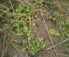 Cardamine_oligosperma_habitat.jpg