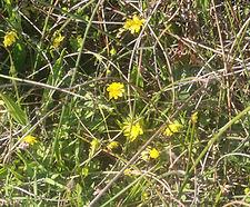 Ranunculus_californicus_habitat.jpg