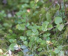 Clinopodium_douglasii_habitat.jpg