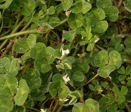 Trifolium_subterraneum_plant.jpg