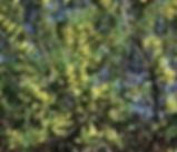Salix_lasiandra_plant.jpg