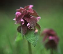 Lamium_purpureum_flower.jpg