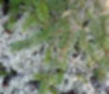 Abies_grandis_plant.jpg