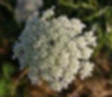 Daucus_carota_flower.jpg