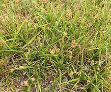 Carex_pansa_habitat.JPG