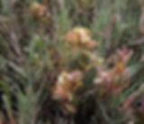 Cuscuta_pacifica_plant.jpg