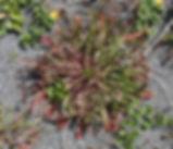 Plantago_coronopus_plant.jpg