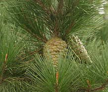 Pinus_radiata_cone.jpg