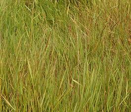 Agrostis_stolonifera_plant.jpg