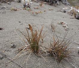 Poa_confinis_plant.jpg