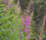 Chamerion_angustifolium_plant.jpg