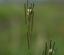 Cardamine_oligosperma_flower.jpg