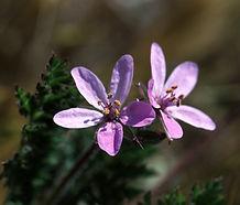 Erodium_cicutarium_flower.jpg