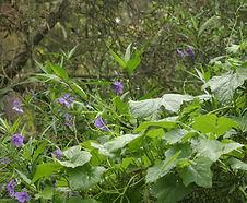 Solanum_aviculare_habitat.jpg