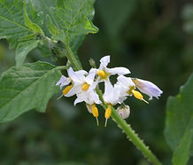 Solanum_douglasii_flower.jpg