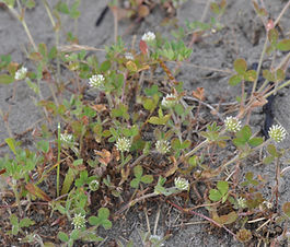 Trifolium_microcephalum_plant.jpg