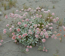 EriogonumLatifolium_plant.jpg