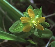 Hypericum_anagalloides_flower.jpg
