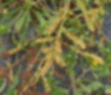 Rumex_crassus_plant.jpg
