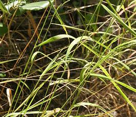 Agrostis_hallii_plant.jpg