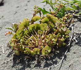 Claytonia_perfoliata_plant.jpg
