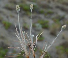 Plantago_erecta_plant.jpg