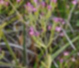 Zeltnera_muhlenbergii_plant.jpg