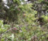Lonicera_hispidula_plant.jpg