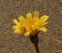 Leontodon_saxitilis_flower.jpg
