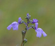Nuttallanthus_canadensis_flower.jpg
