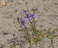 Nuttallanthus_canadensis_habitat.jpg