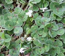 Trifolium_subterraneum_flower.jpg