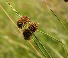 Juncus_bolanderi_flower.jpg