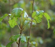Toxicodendron_diversilobum_flower.jpg