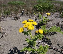 tanacetum_bipinnatum_plant.jpg