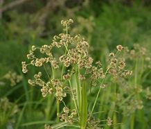 Scirpus_microcarpus_flower.jpg