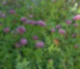 Trifolium_wormskjoldii_plant.jpg