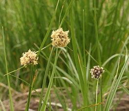 Bolboschoenus_maritimus_plant.jpg