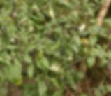 Solanum_nigrum_plant.jpg