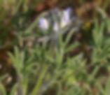 Lupinus_bicolor_plant.jpg