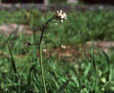 Capsella_bursa-pastoris_habitat.jpg