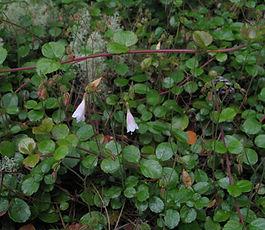 Linnaea_borealis_plant.jpg