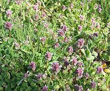 Lamium_purpureum_habitat.jpg