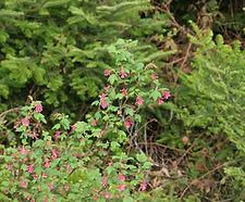 Ribes_sanguineum_habitat.jpg