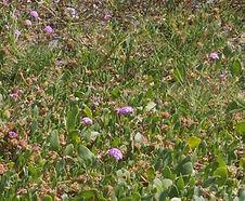 Abronia_umbellata_breviflora_habitat.jpg